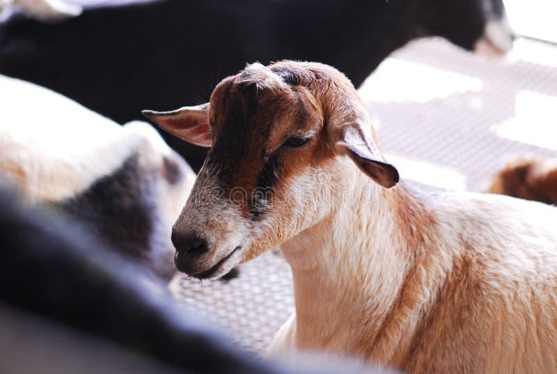 Download Goat farm stock image. Image of close, goat, milk, sulking - 6673713