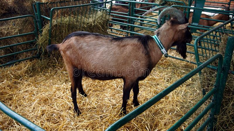 Download Goat on farm stock photo. Image of grazing, black, goats - 102712494