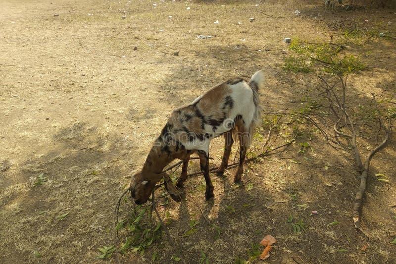 Goat. Farm breeders longears breed royalty free stock photo