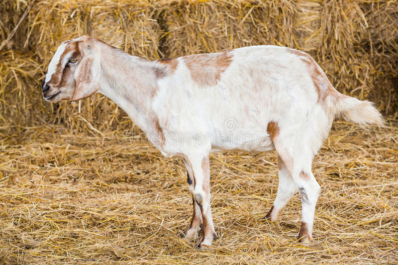 Download Goat in farm stock image. Image of countryside, natural - 33497977