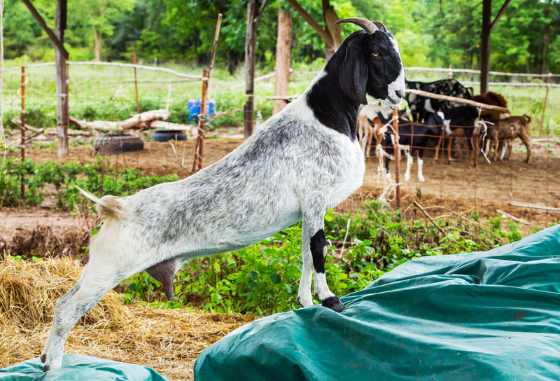 Download Goat in farm stock photo. Image of close, leaf, forest - 33498104
