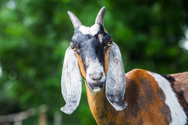 Download Goat in farm stock image. Image of fresh, meadow, natural - 33498463