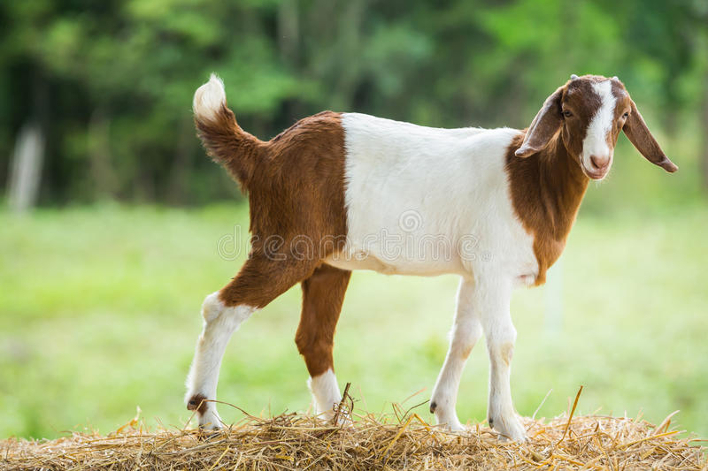 Download Goat in farm stock image. Image of food, livestock, nature - 33448951