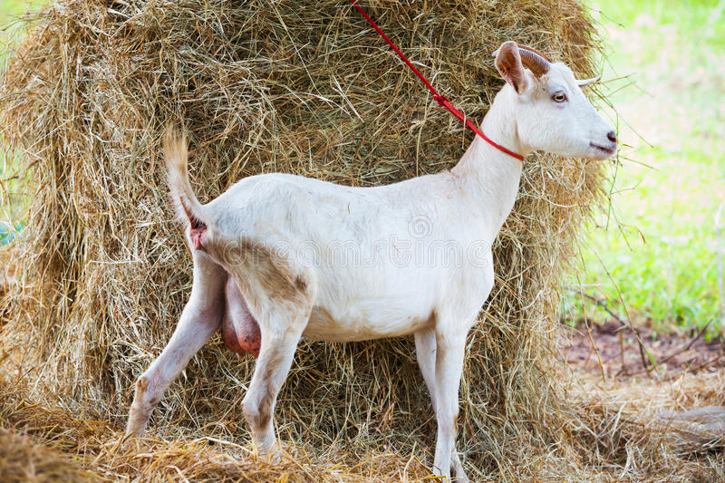 Goat in farm royalty free stock photos