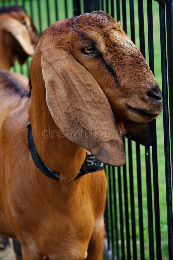 Download Goat in the farm stock photo. Image of outdoors, countryside - 31440228