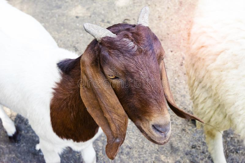 Goat in farm,thailand. Goat in farm in thailand royalty free stock photos