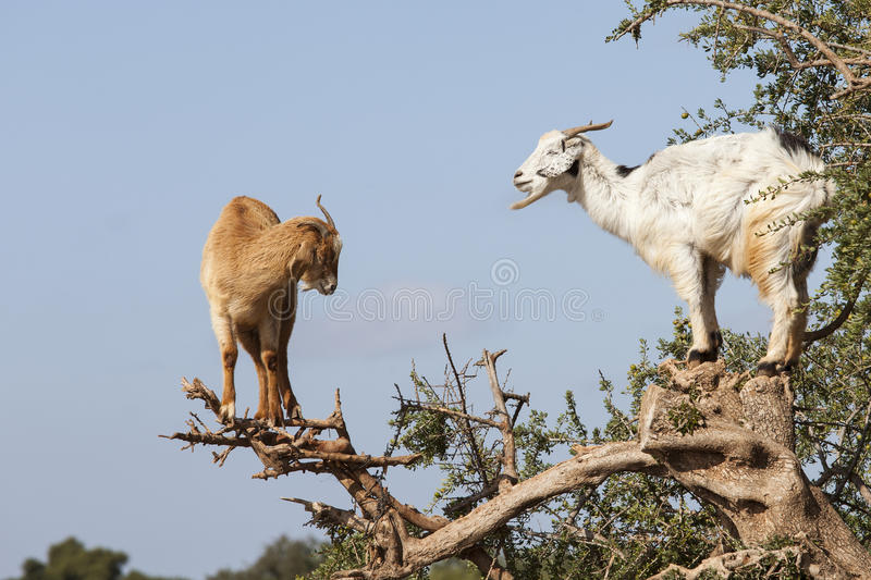 Goat feeding in argan tree. Marocco stock image