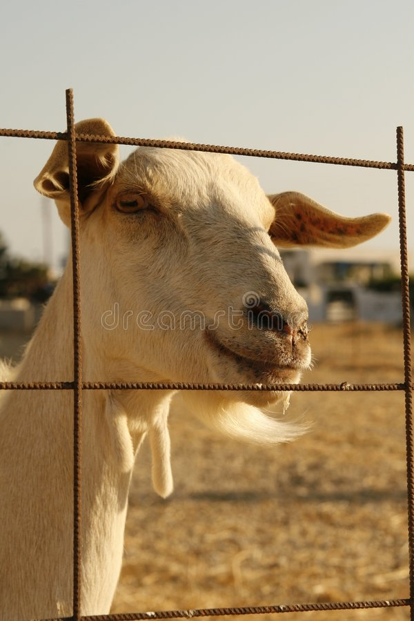 Download Goat at fence stock photo. Image of closeup, farm, friendly - 1078938