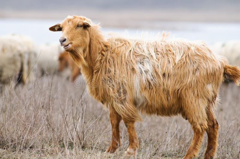 Goat on a field stock image