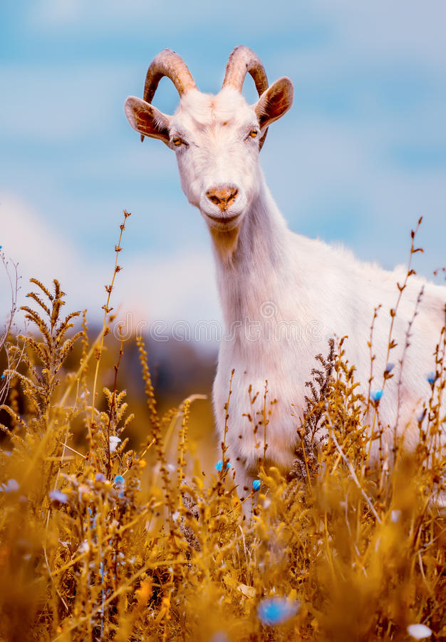 Goat on the field stock image