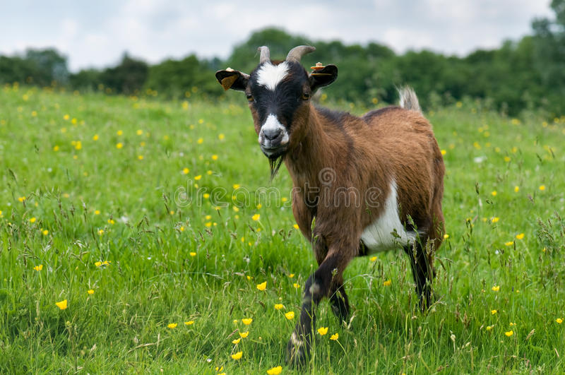 Goat in a field stock image