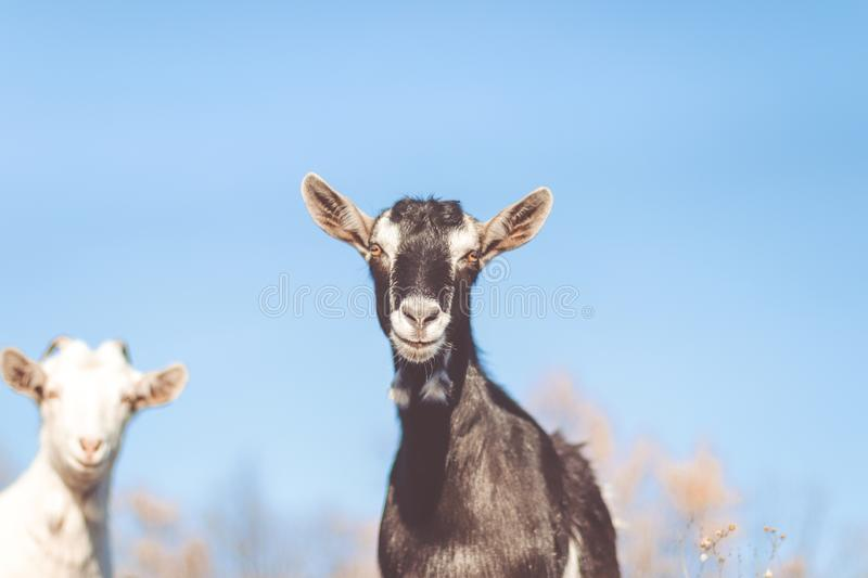 Goat in field. Goats eating grass royalty free stock photography