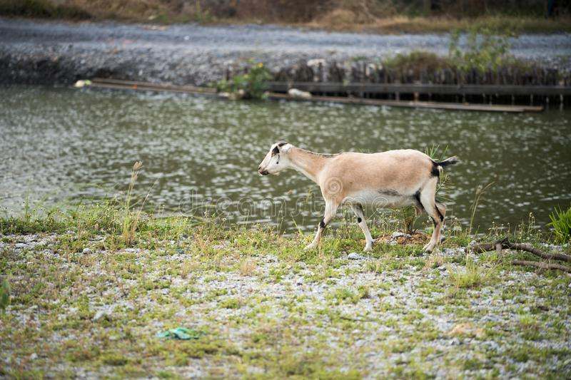 The goat in the field stock photos