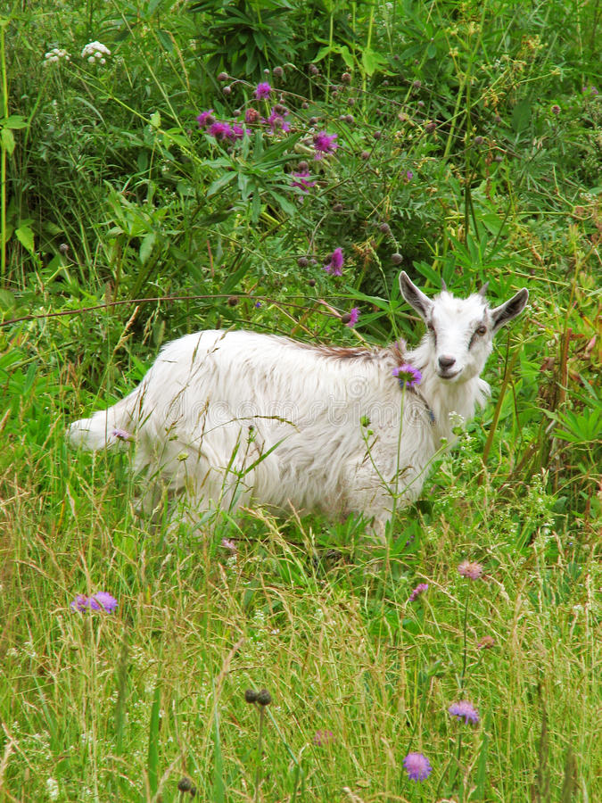 Goat into the flowers stock photography