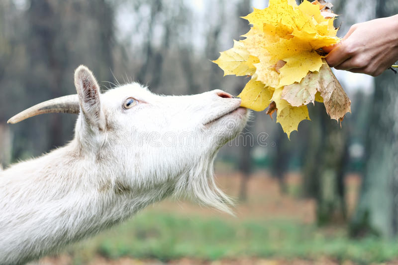 Download Goat Gets The Food Stock Image - Image: 35162841