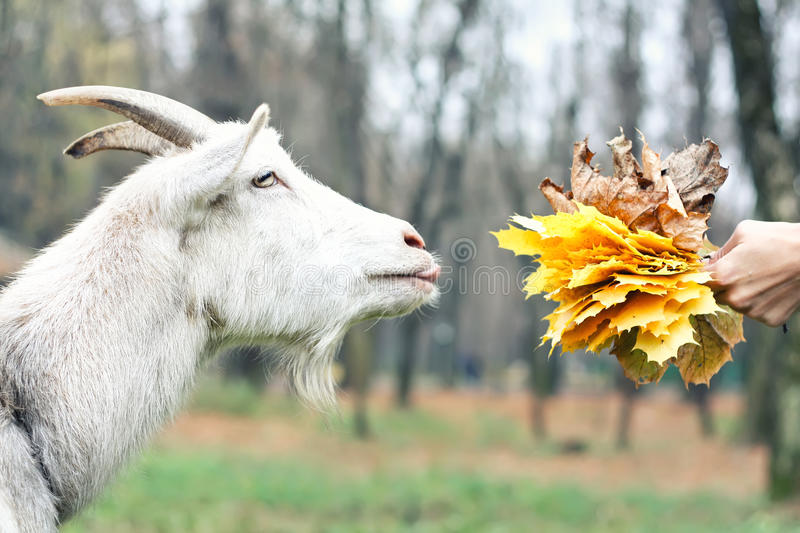 Download Goat gets the food stock image. Image of cute, horn, furry - 35163135
