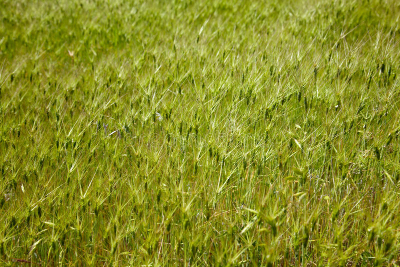 Download Goat grass meadow stock image. Image of green, plant - 18776499