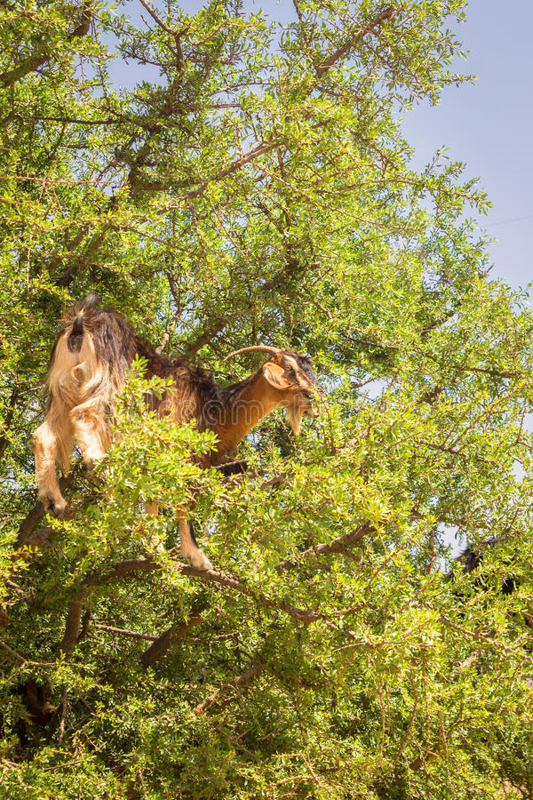 Goat graze in argan trees stock image