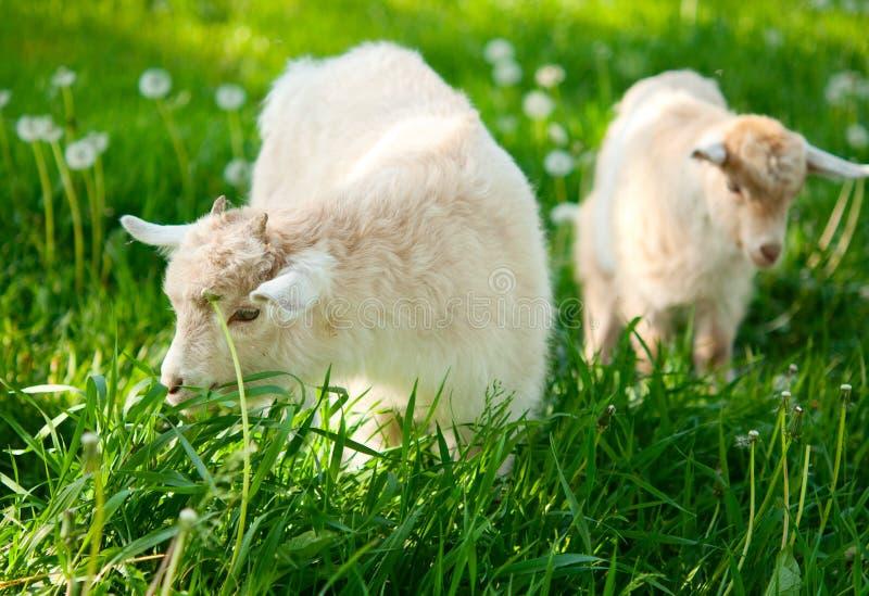 Goat grazing stock photography