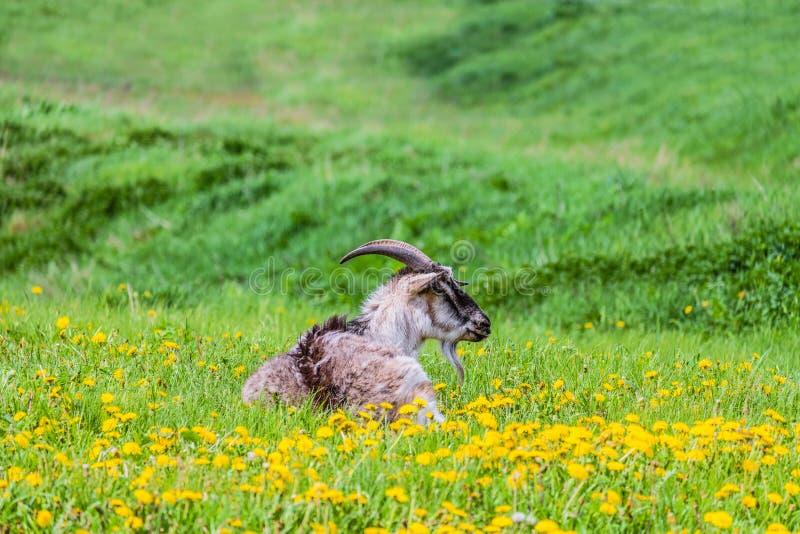 Goat grazing on a dandelion lawn. Farming pasture royalty free stock photos