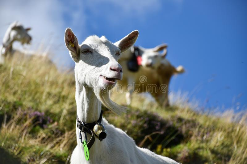 Goat grazing in a funny way on a hill, its goatee waving in the stock image