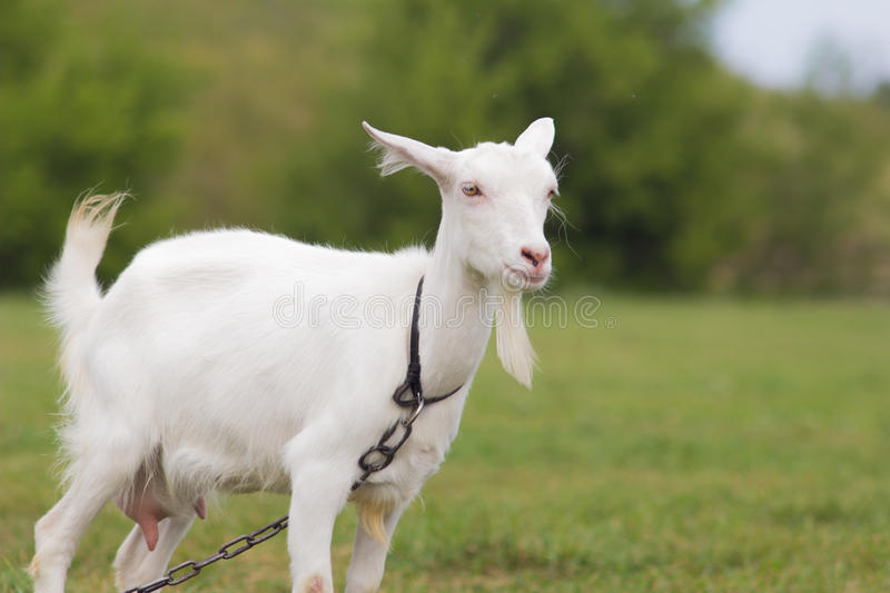 Goat. In green meadow on the chain stock photography