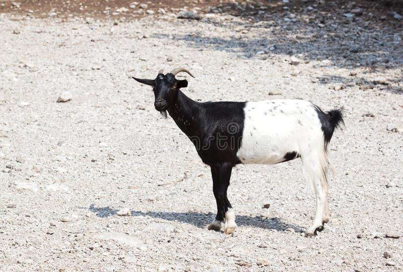 Goat half black stock photo