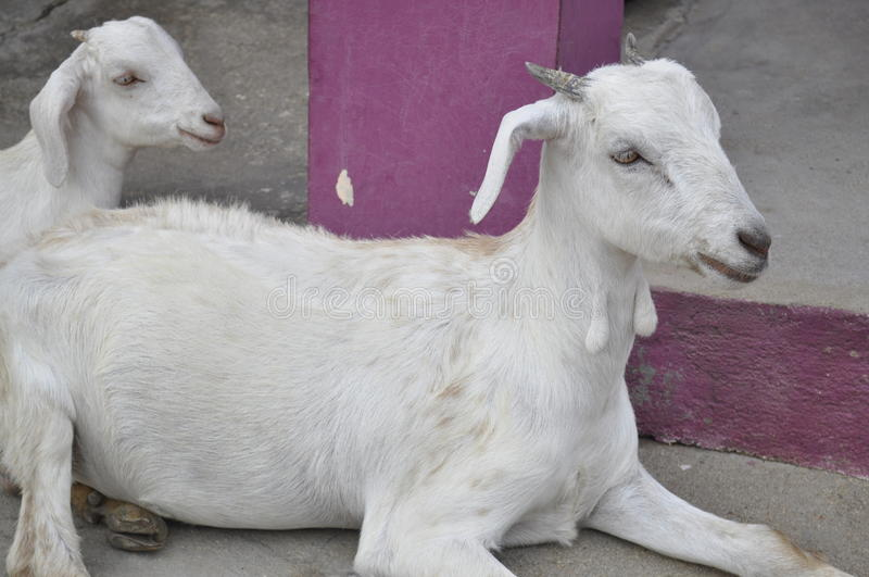 Goat and her kid stock image