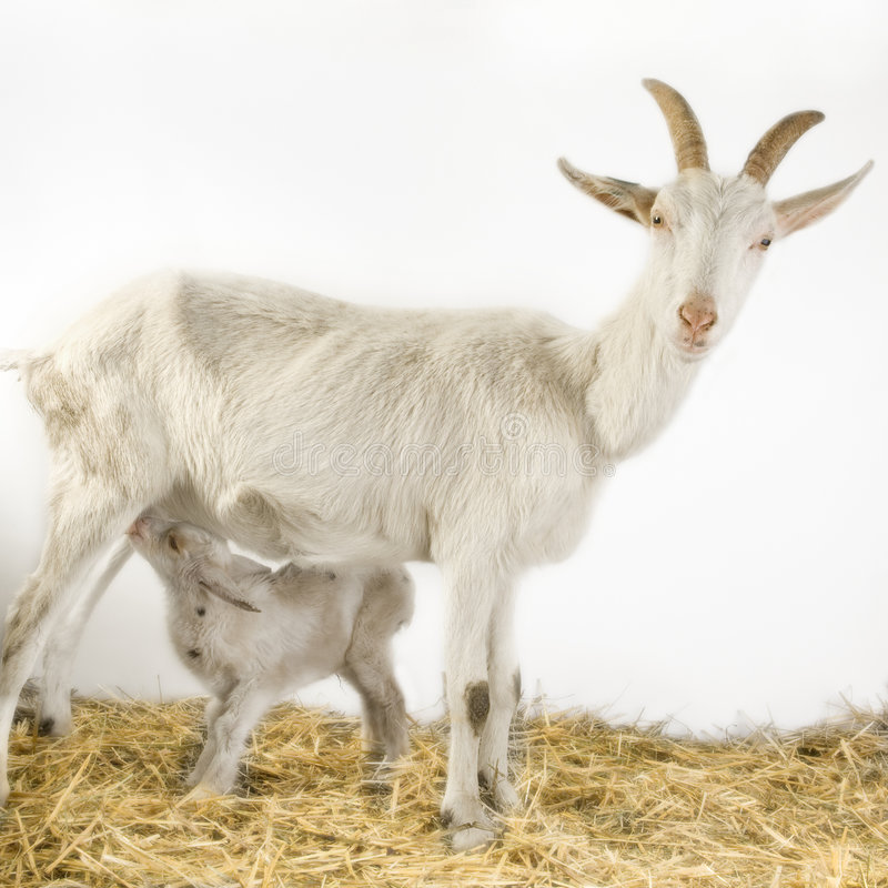Download Goat And Her Kids Royalty Free Stock Image - Image: 2313056