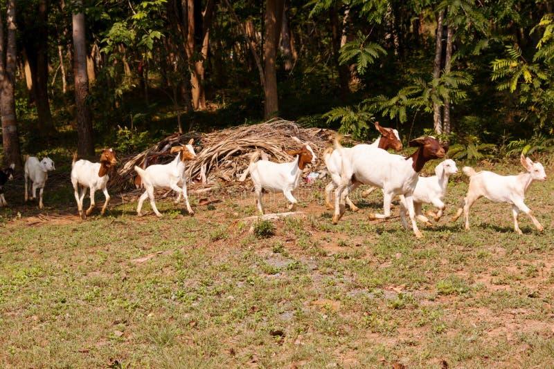 Goat herd. Herd of goat livestock in farm. Herding animals forage in nature royalty free stock photo