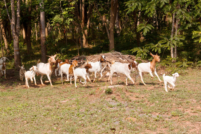 Goat herd. Herd of goat livestock in farm. Herding animals forage in nature stock photo