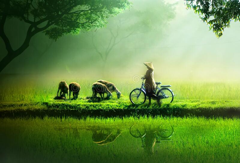 Goat herder by the rice land royalty free stock photo