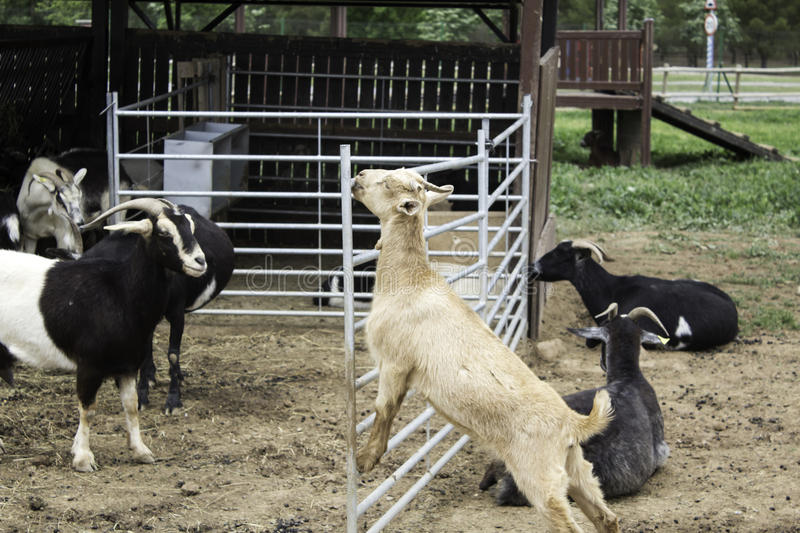 Goat with horns. In animal farm, nature and captivity stock photography
