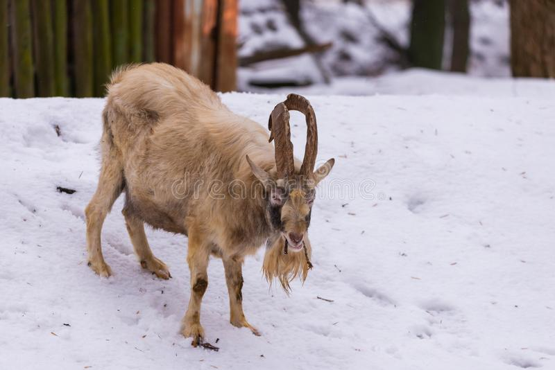 Goat with horns and beard on snow in the village. Goat with horns and beard in the village, mammal, animal, nature, sheep, brown, head, horned, mountain, wild royalty free stock images