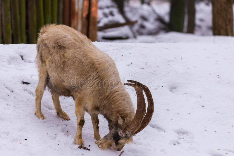 Goat with horns and beard on snow in the village. Goat with horns and beard in the village, mammal, animal, nature, sheep, brown, head, horned, mountain, wild stock image