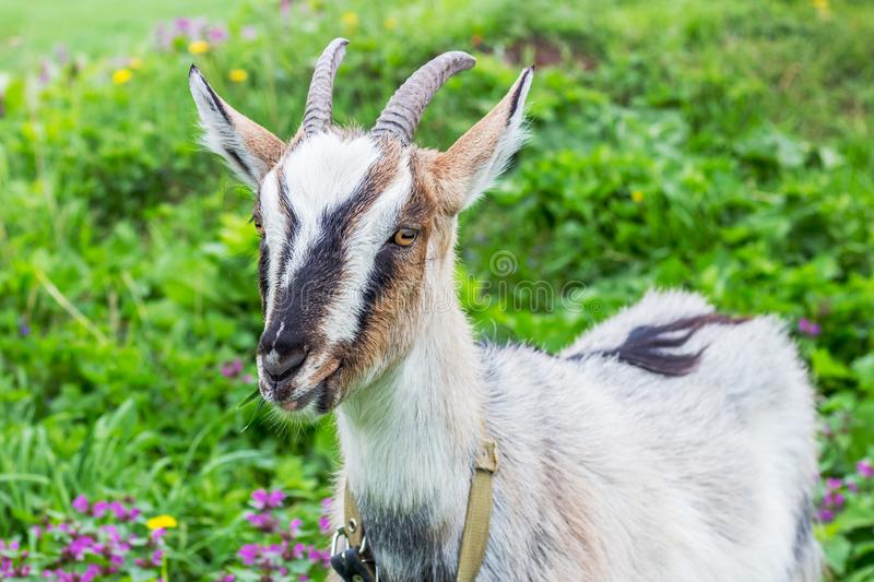 Goat with horns eats grass on pastures in summer_. Goat with horns eats grass on pastures in summer stock images