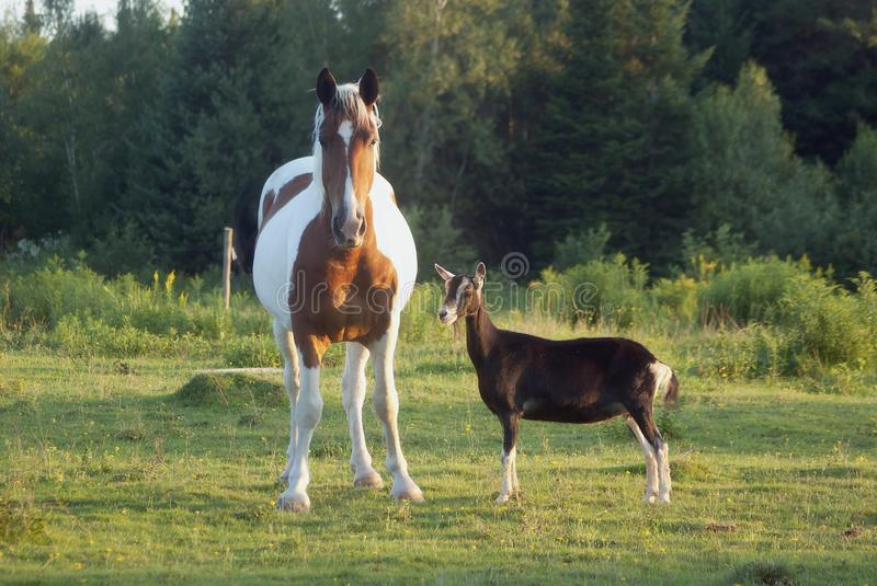 Goat and horse country ranch green field sun light farm. Horse and goat friends in field farm animals royalty free stock images
