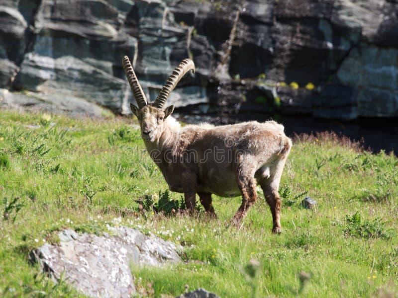 Goat ibex royalty free stock photography