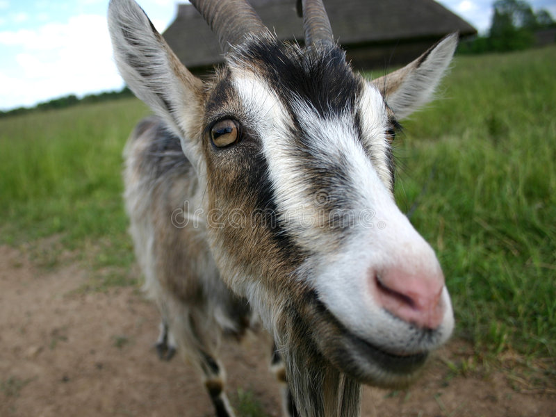 Download Goat III stock photo. Image of eyes, summer, goat, nature - 6416