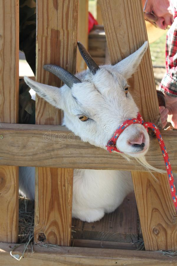 Free Goat In A Stanchion Stock Photography - 23597322