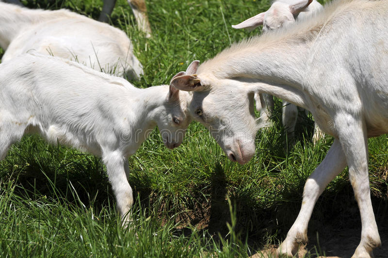 Download Goat and kid stock image. Image of milk, horns, meadow - 14708467