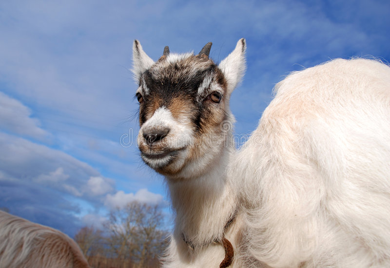 Goat Kid With Atitude Royalty Free Stock Image
