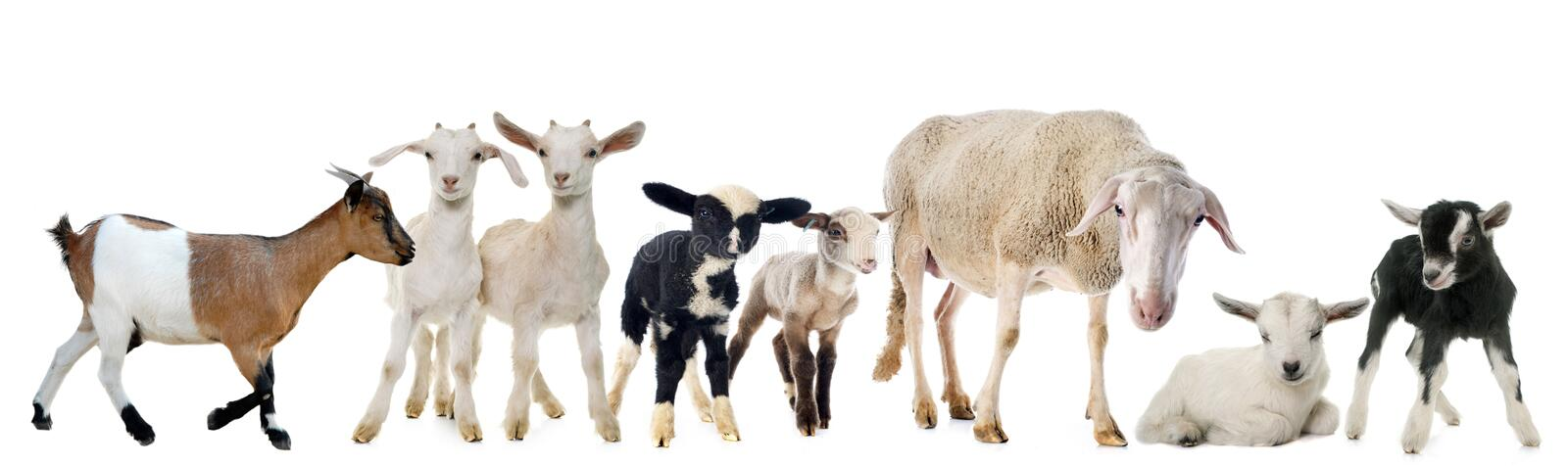 Goat, kid, ewe and lambs. Goat and ewe in front of white background royalty free stock photo