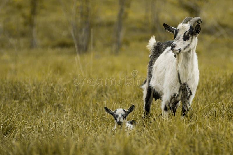 Goat kid green grass pasture White black stock photo
