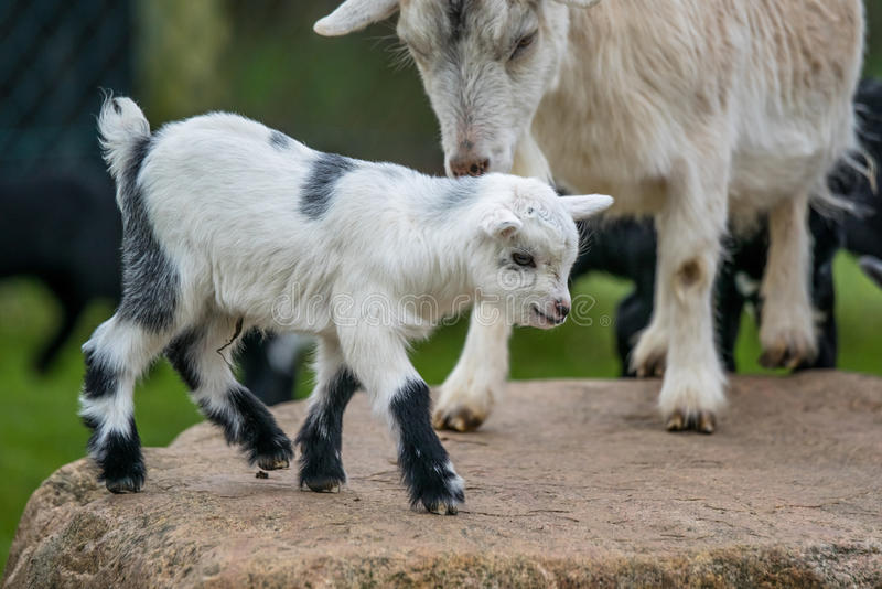 Goat kid with its mother. Goat kid playing with its mother in the countryside royalty free stock photos