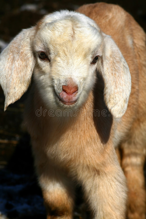 Download Goat Kids 09 stock photo. Image of cute, relation, farm - 8550040