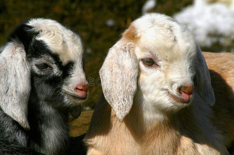 Goat Kids 0903 royalty free stock photos