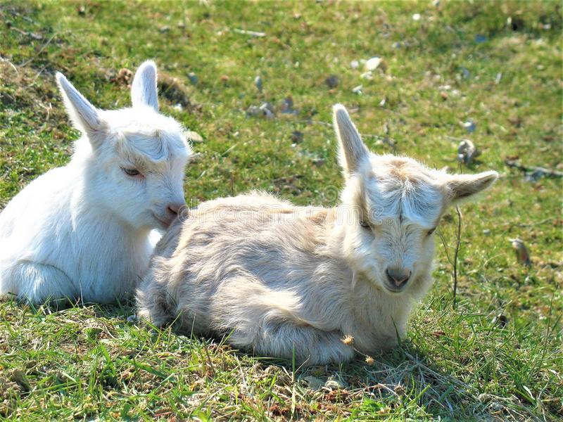Goat kids. Two cute goat kids resting on pasture stock image