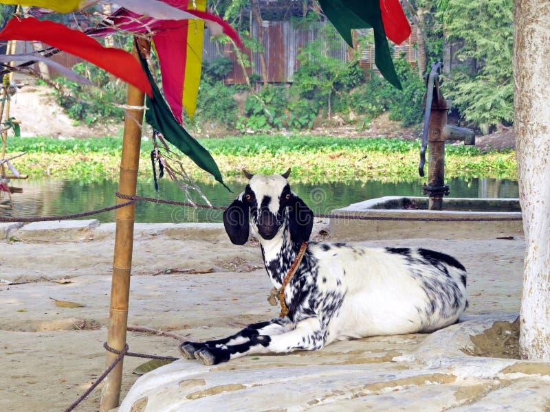 Goat in Kushtia, Bangladesh. Goat enjoying leisure time near Shrine of Lalon Shah, Kushtia, Bangladesh stock photography