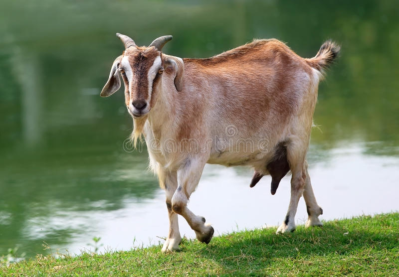 Goat beside a lake. Outdoor royalty free stock photos
